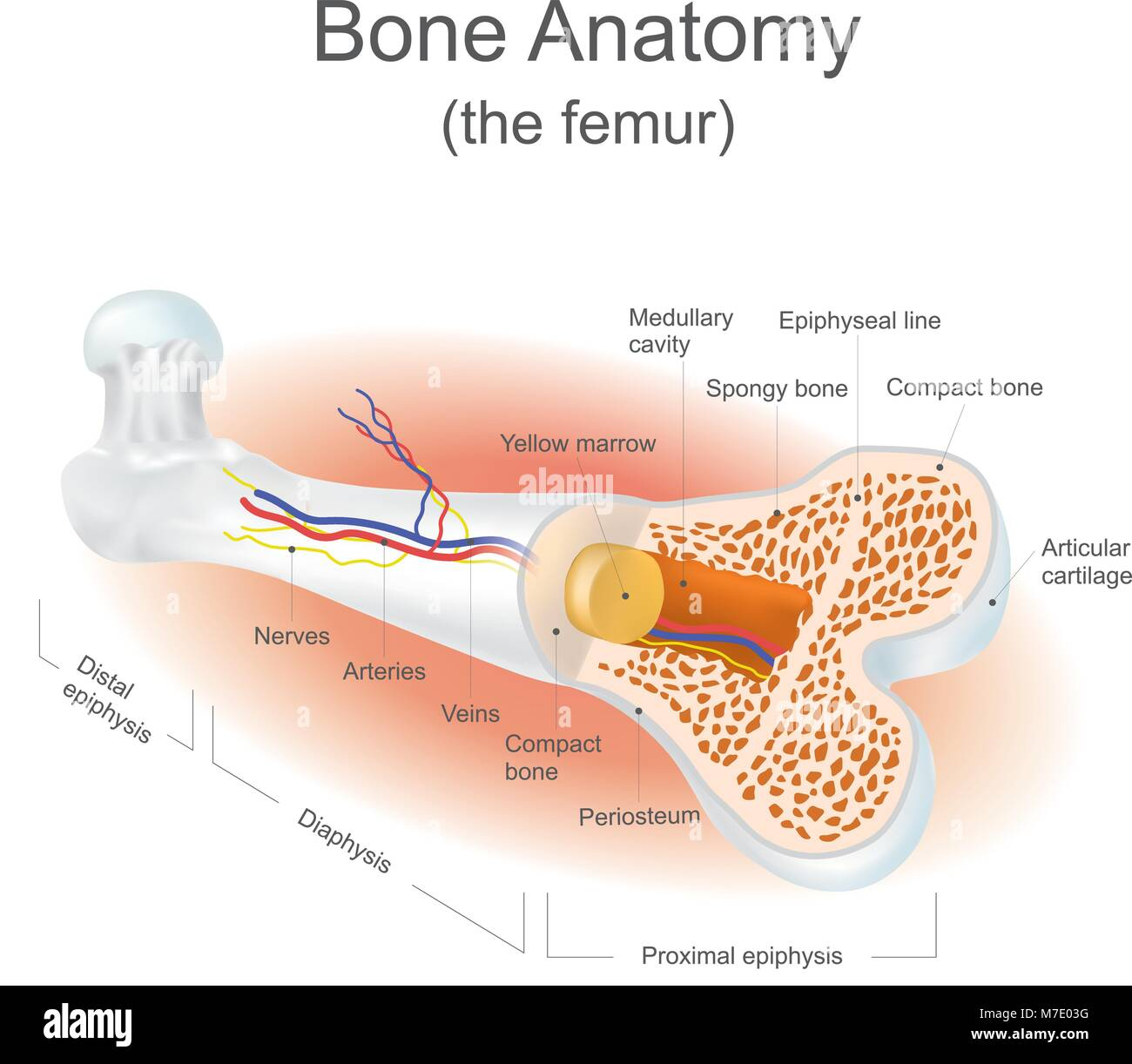 The femur is the strongest bone in the body. Info graphic vector. - Stock Image