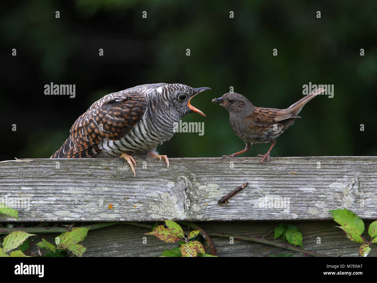 Dunnock perched on fence feeding juvenile Cuckoo  Norfolk               July 2009 - Stock Image