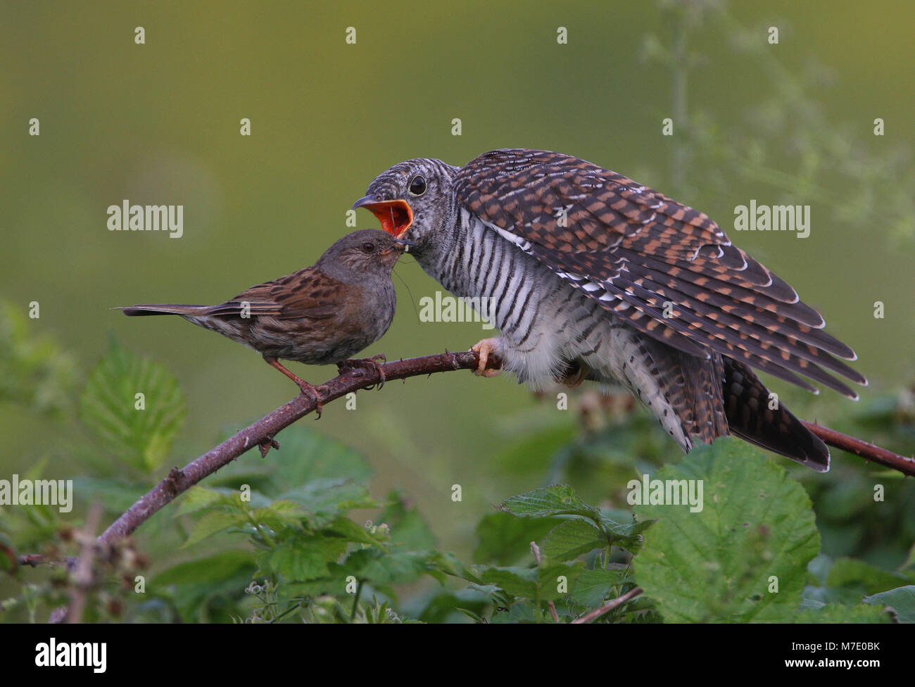 Dunnock feeding juvenile Cuckoo  Norfolk           July 2009 - Stock Image