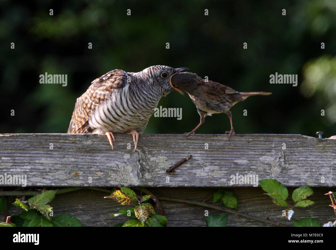 Dunnock feeding juvenile cuckoo, head in mouth  Norfolk              July 2009 - Stock Image
