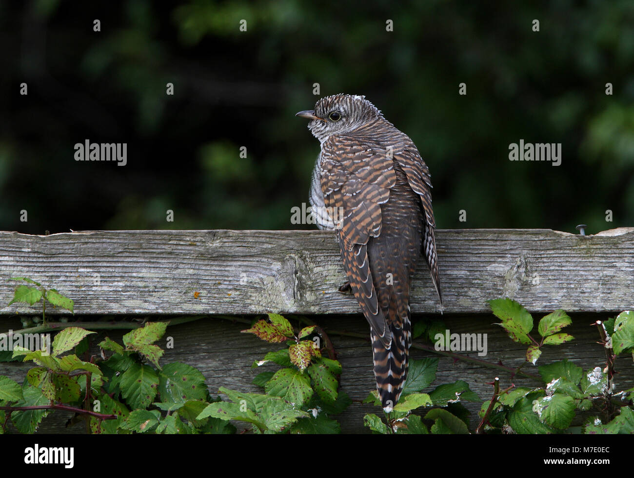 juvenile perched on fence  Norfolk              July 2009 - Stock Image