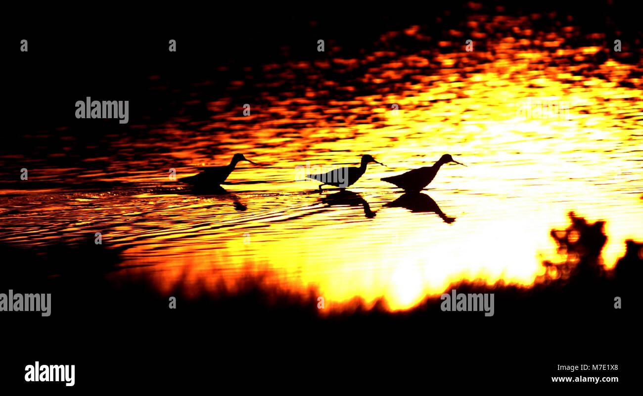 marsh birds walking in a row at sunset in the Nonquitt marsh  Dartmouth Ma USA photo bill belknap - Stock Image