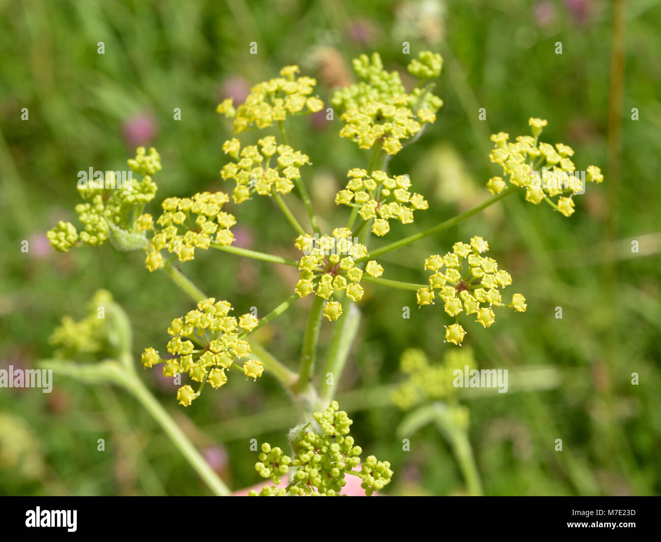 Wild Parsnip, Pastinaca sativa - Stock Image