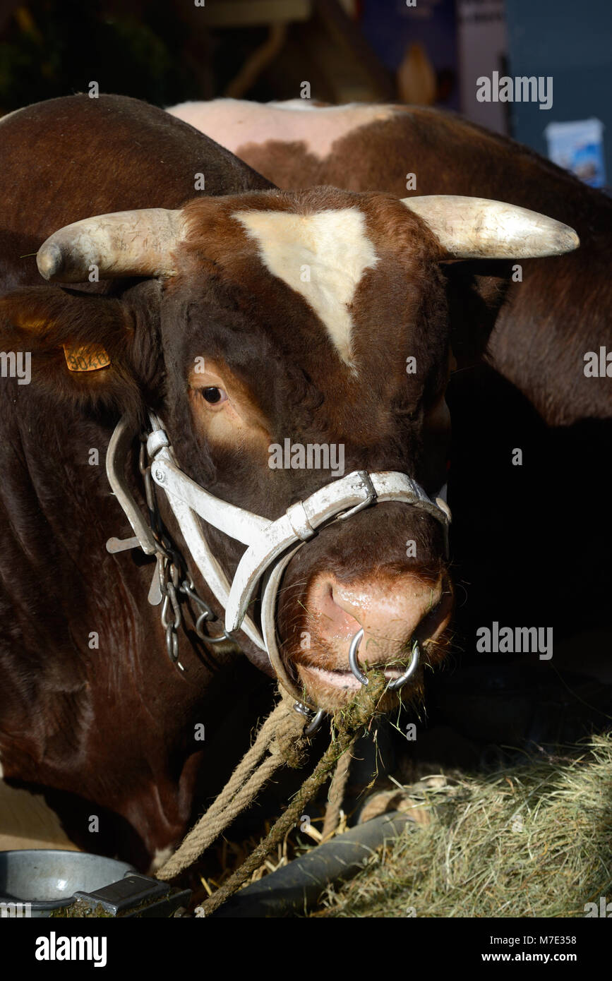 Portrait of Maine-Anjou Beef Cattle or Cow, aka Rouge des Prés in France, at the Paris  International Agricultural - Stock Image
