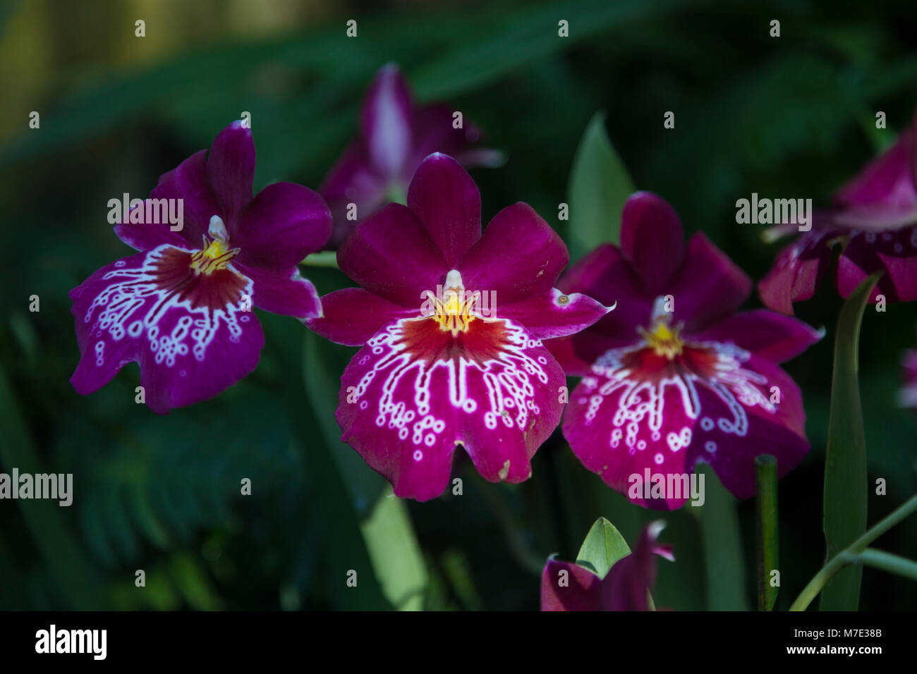 Miltonia 'Pansy' orchid at the Orchid festival in Kew Gardens 2018 - Stock Image