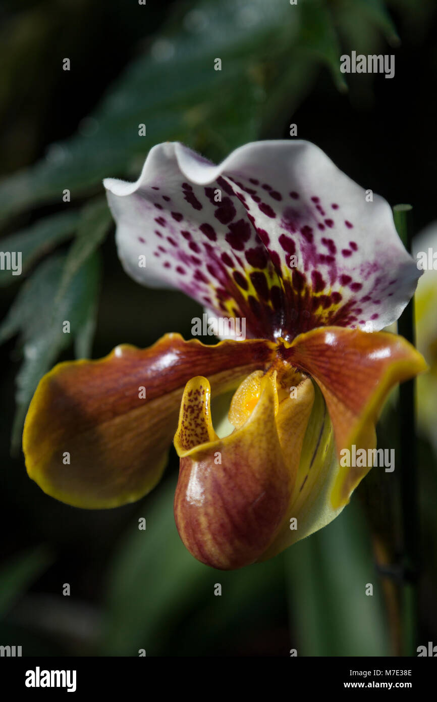 Paphiopedilum 'Slipper' orchid at the Orchid festival in Kew Gardens 2018 - Stock Image