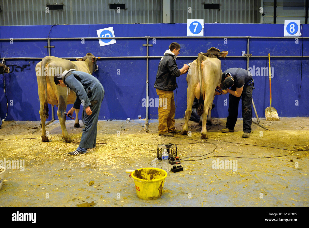 Cattle Breeders Clip and Prepare Their Prize Cows at Paris International Agricultural Show, or Salon International - Stock Image