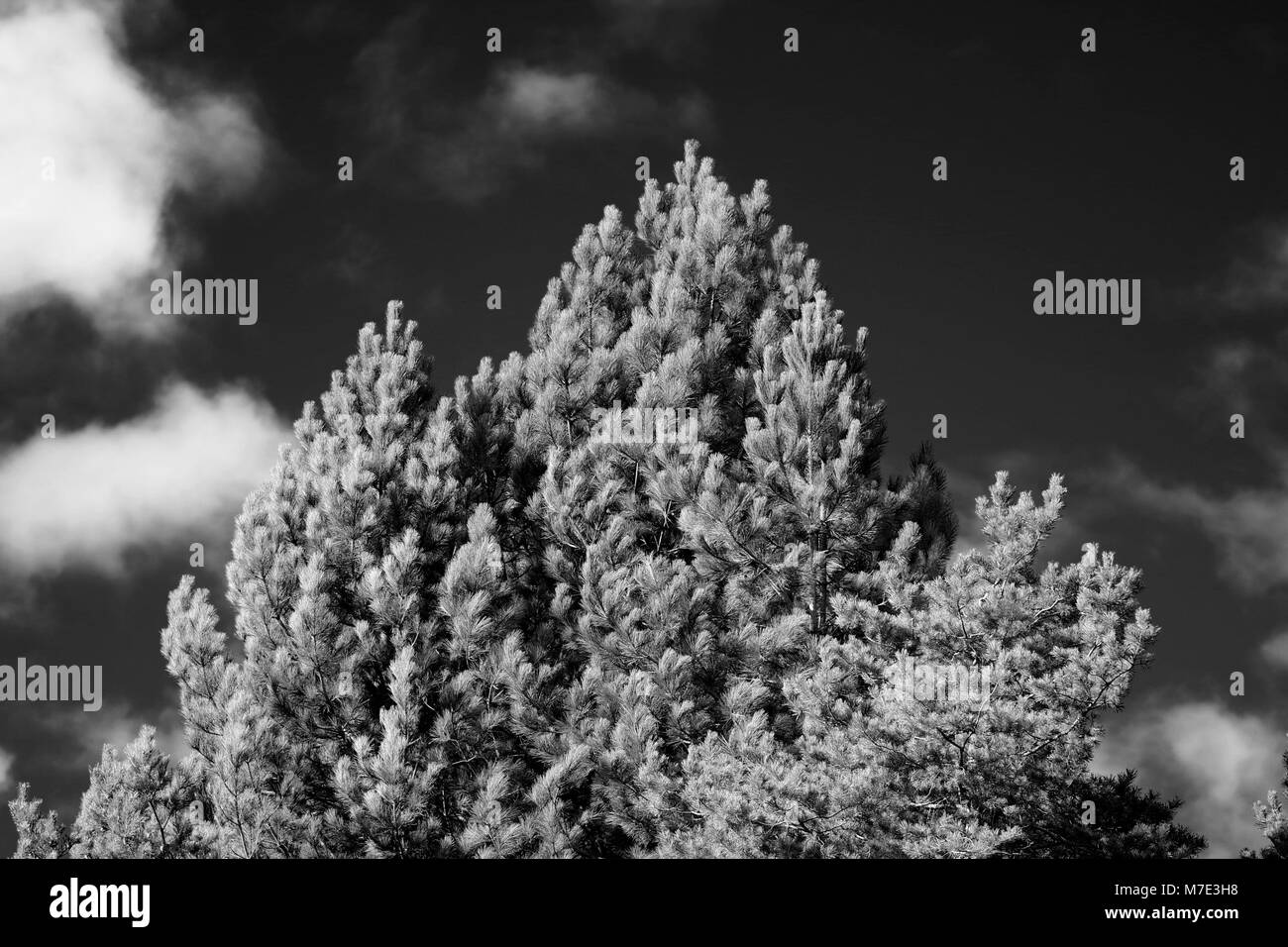 Top of a Conifer Pine Tree, in Dramatic Black and White on a Fine Spring Day. Cruickshank Botanic Garden, University - Stock Image