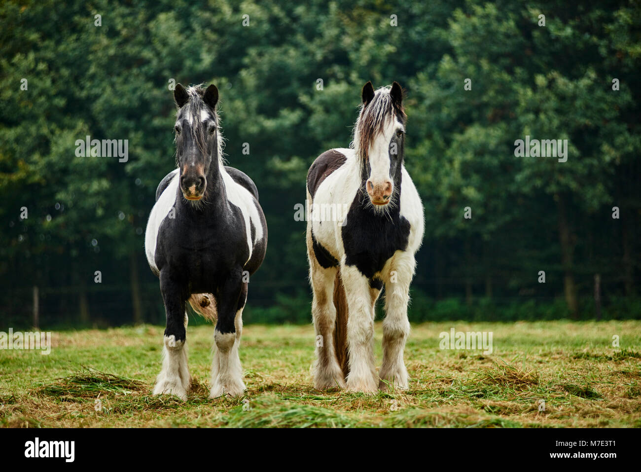 Zwei Pferde auf der Weide Stock Photo