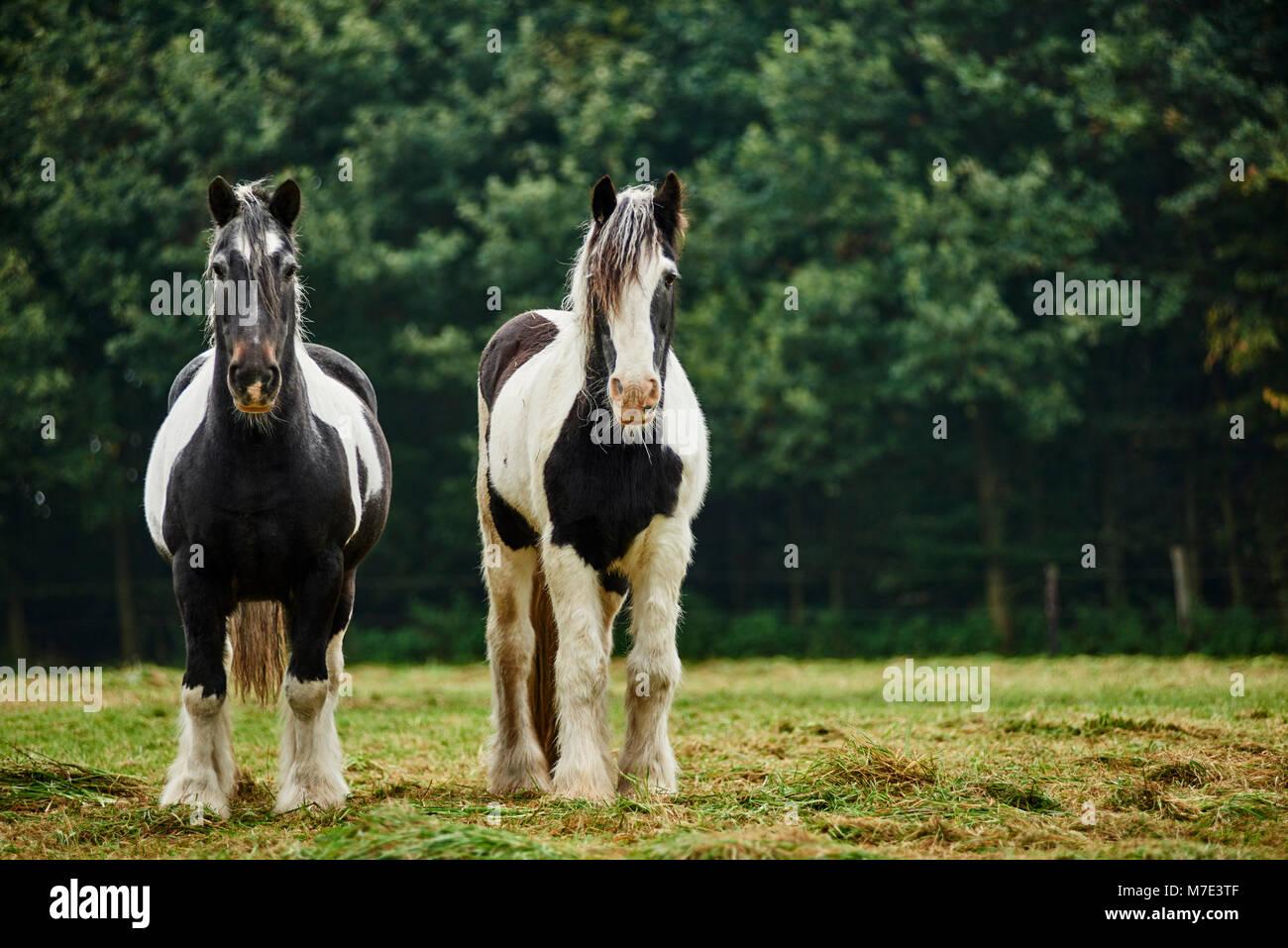 Zwei Pferde auf der Weide - Stock Image