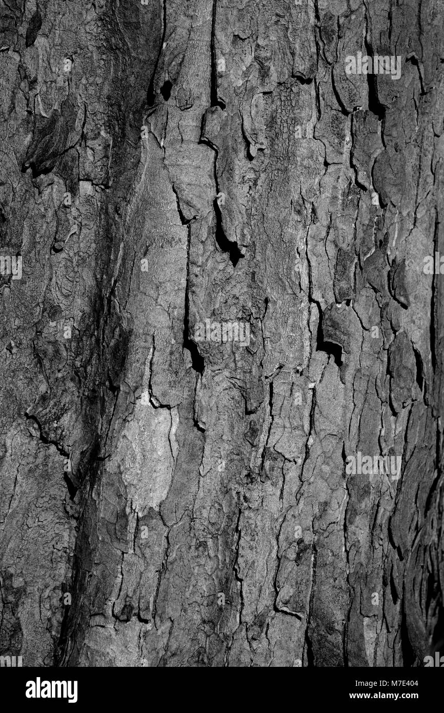 Close Up of Flaky Tree bark. Monochromatic Natural Background. Cruickshank Botanic Garden, Aberdeen, Scotland, UK. - Stock Image