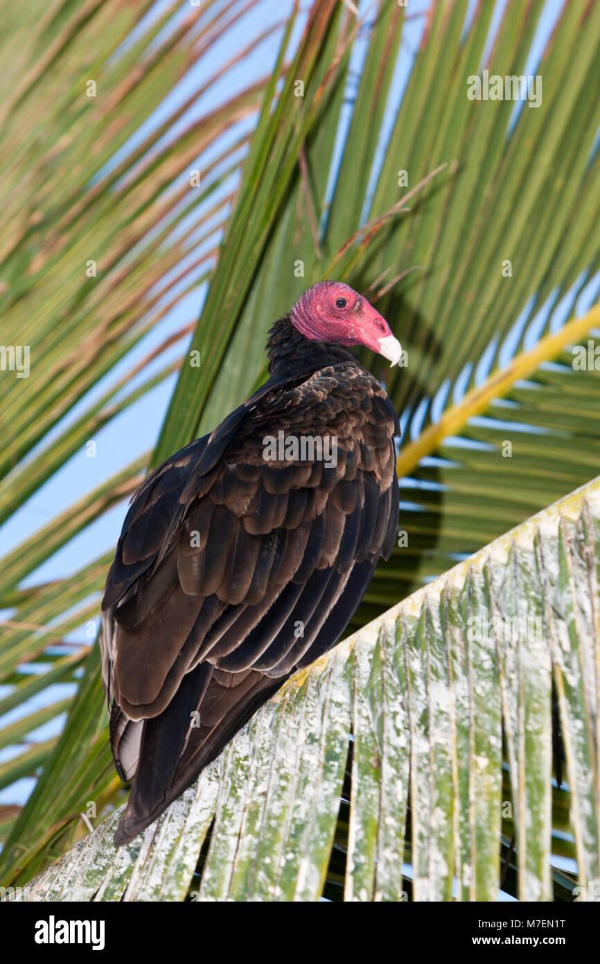 Turkey Vulture resting on Palm Tree, Cathartes aura, Cabo Pulmo, Baja California Sur, Mexico - Stock Image
