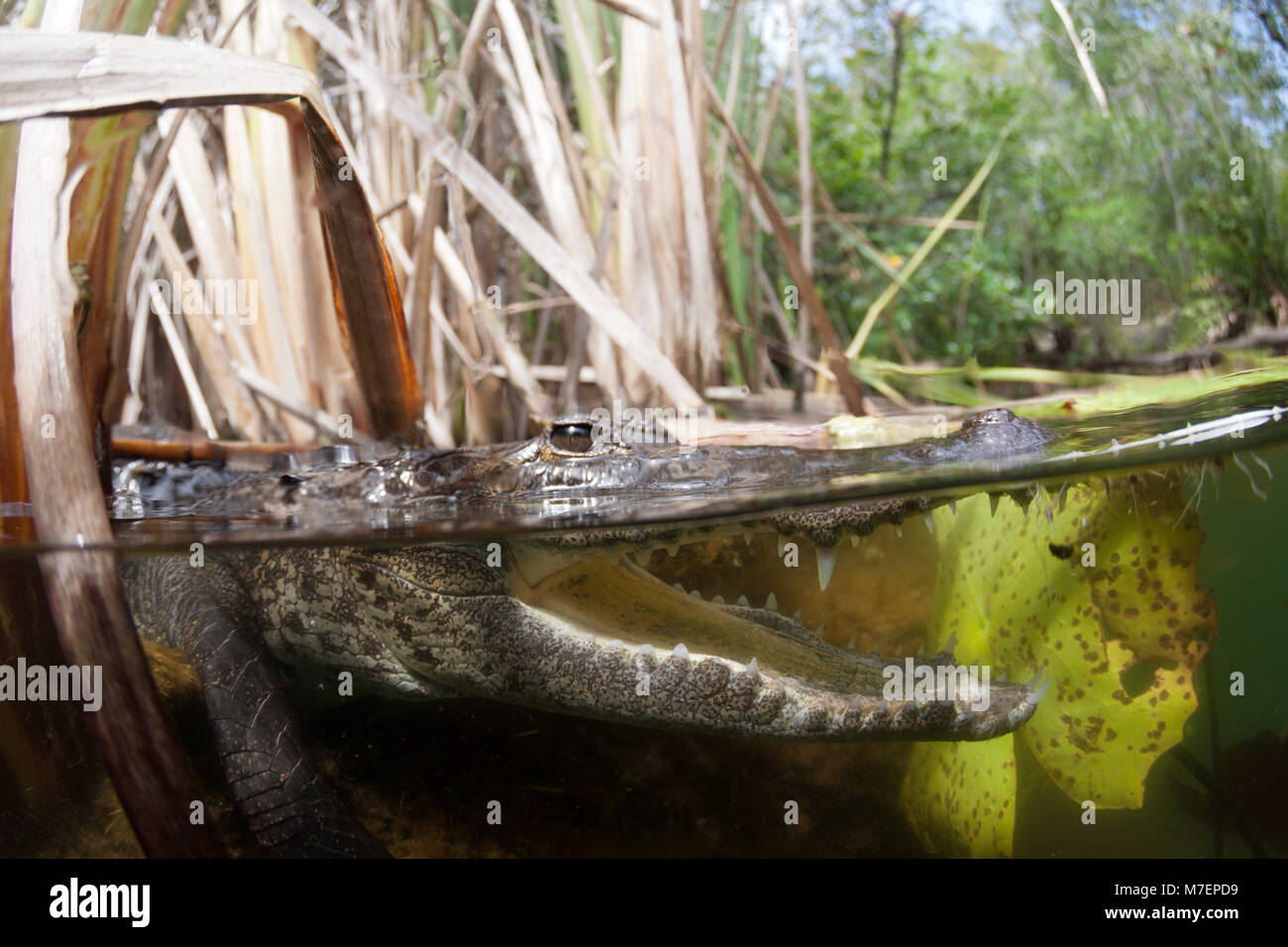 Morelets Crocodile, Crocodylus moreletii, Cancun, Yucatan, Mexico - Stock Image