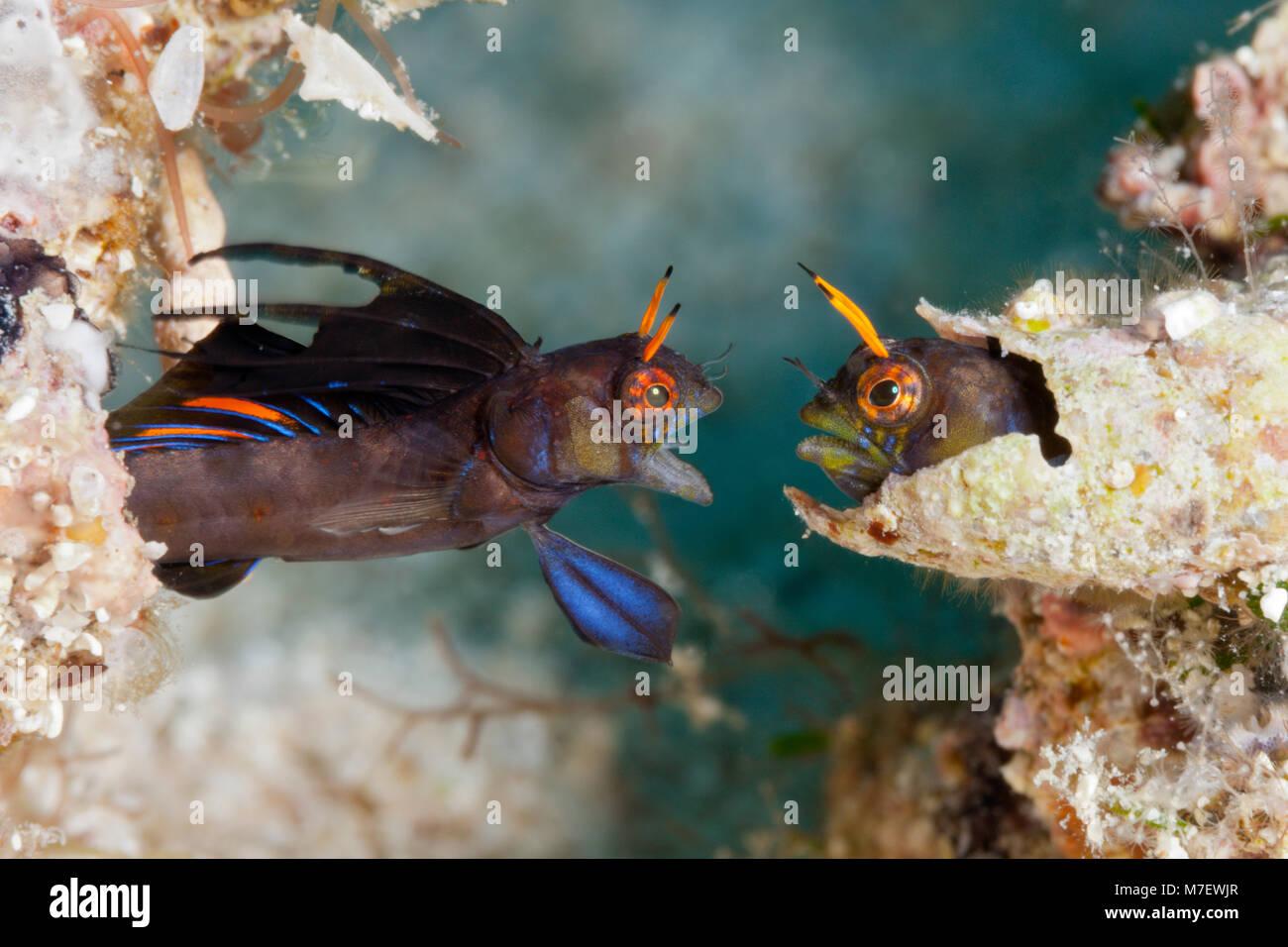 Gulf Signal Blennies in threatening posture, Emblemaria hypacanthus, La Paz, Baja California Sur, Mexico Stock Photo