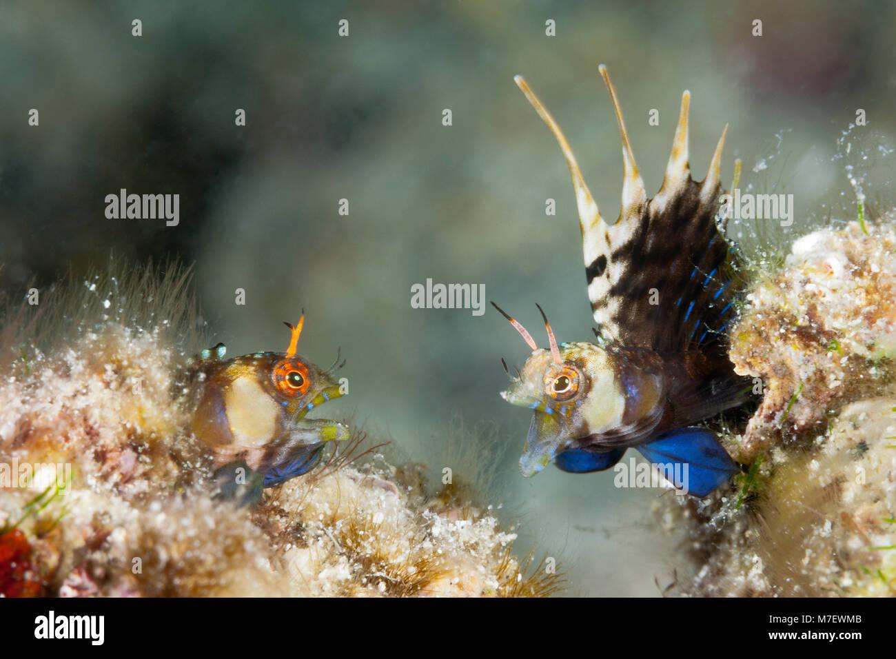 Elusive Signal Blennies in threatening posture, Emblemaria walkeri, La Paz, Baja California Sur, Mexico Stock Photo