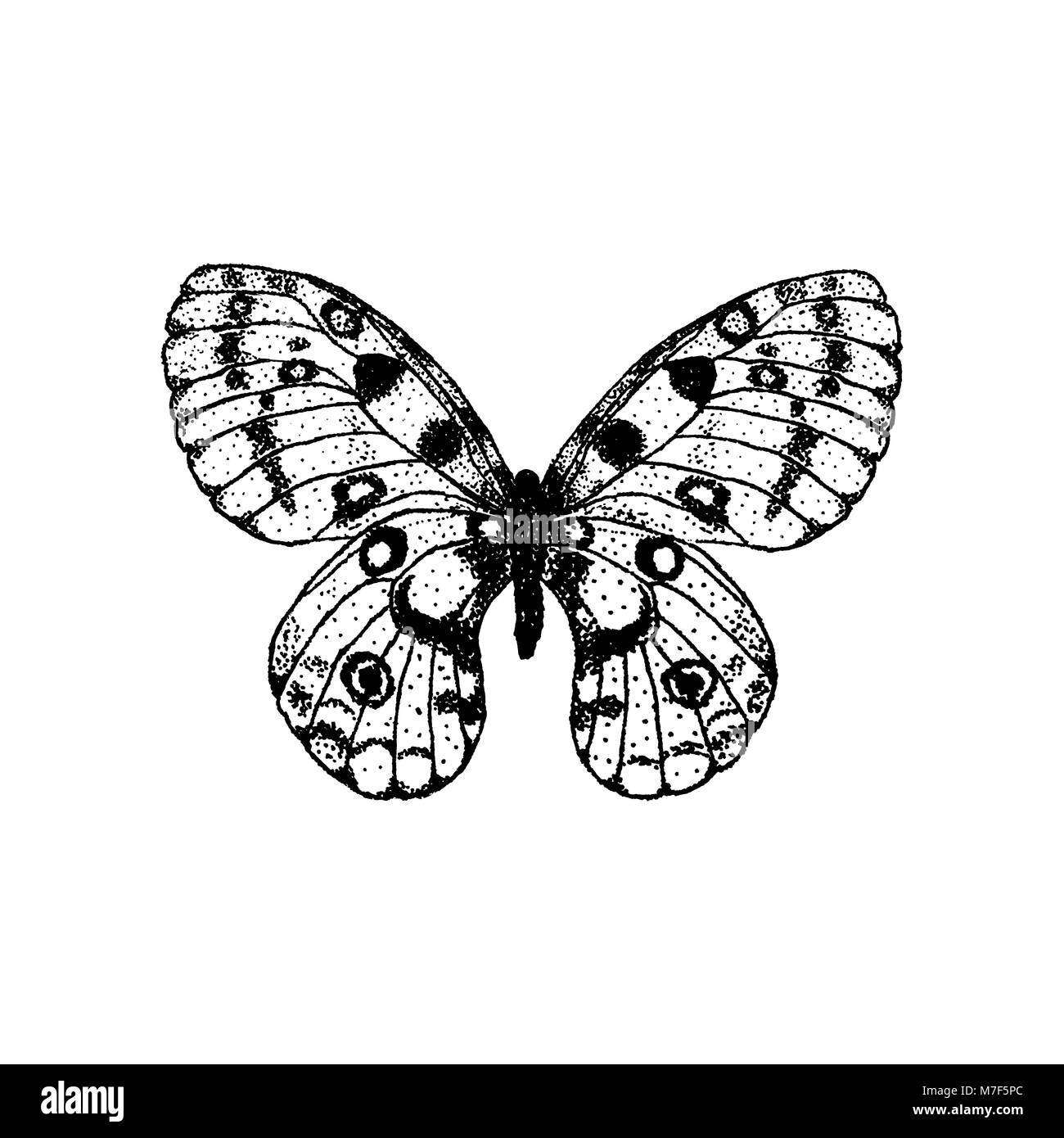 Vector illustration of hand drawing butterfly Parnassius apollo - Stock Vector