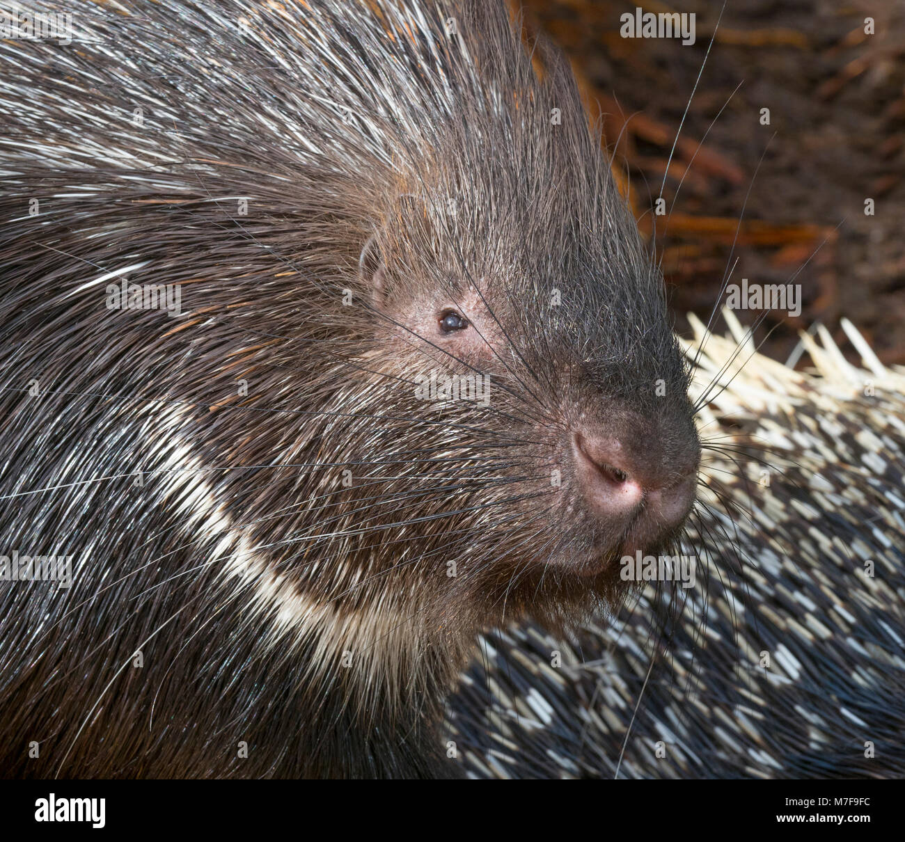 Indian crested porcupine Hystrix indica - Stock Image