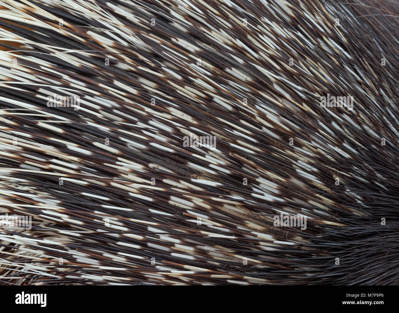 Indian crested porcupine Hystrix indica quills Stock Photo