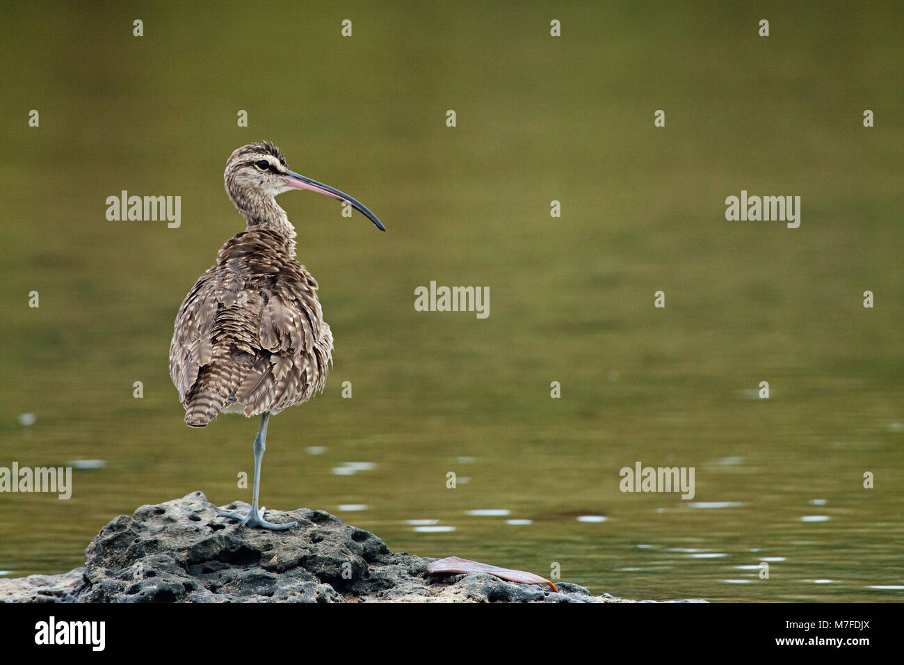 The Whimbrel,  Numenius phaeopus hudsonicus, is a wader in the large family Scolopacidae. It is the one of the most - Stock Image