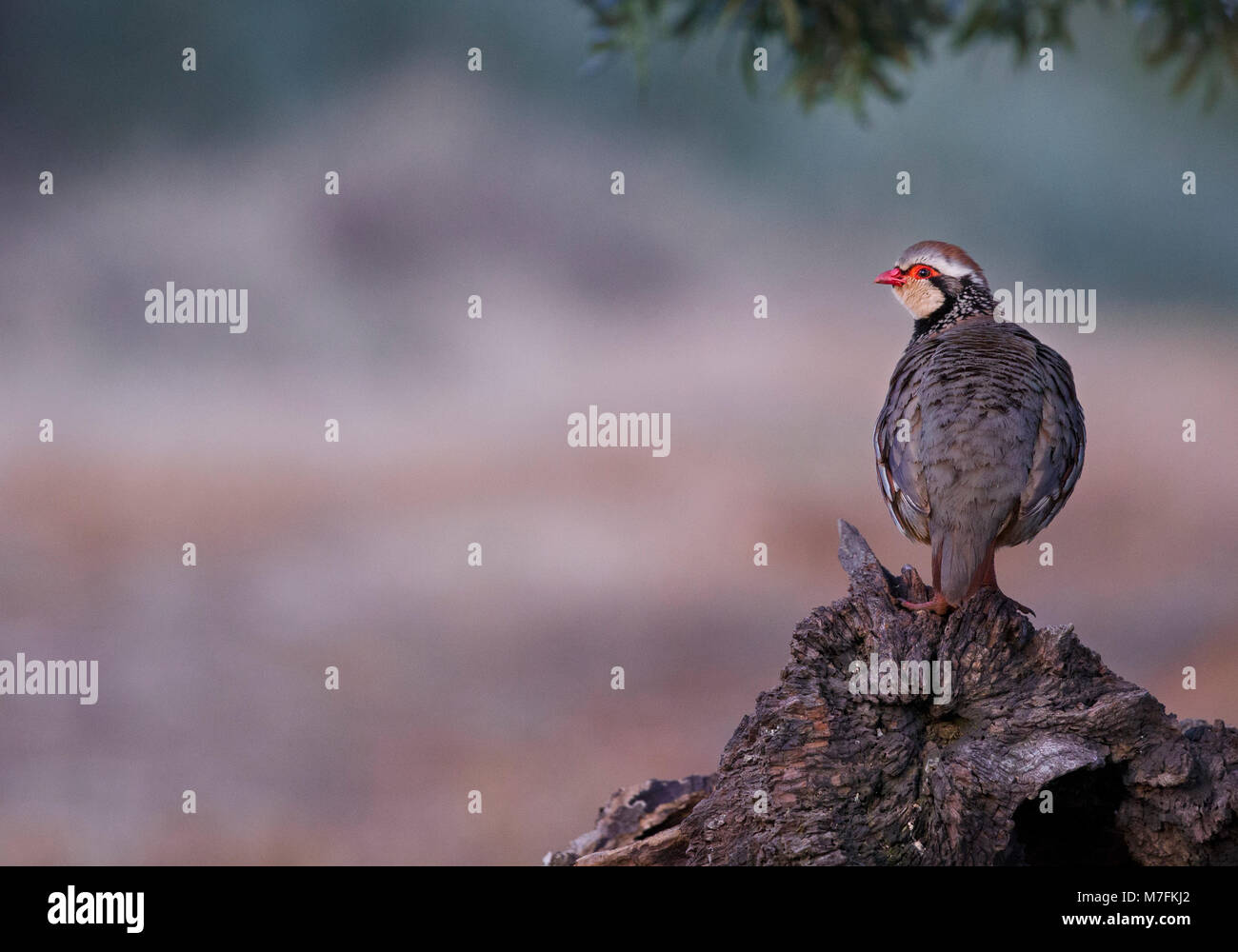 Red-legged Partridge on an old tree stump in a Spanish olive grove - Stock Image