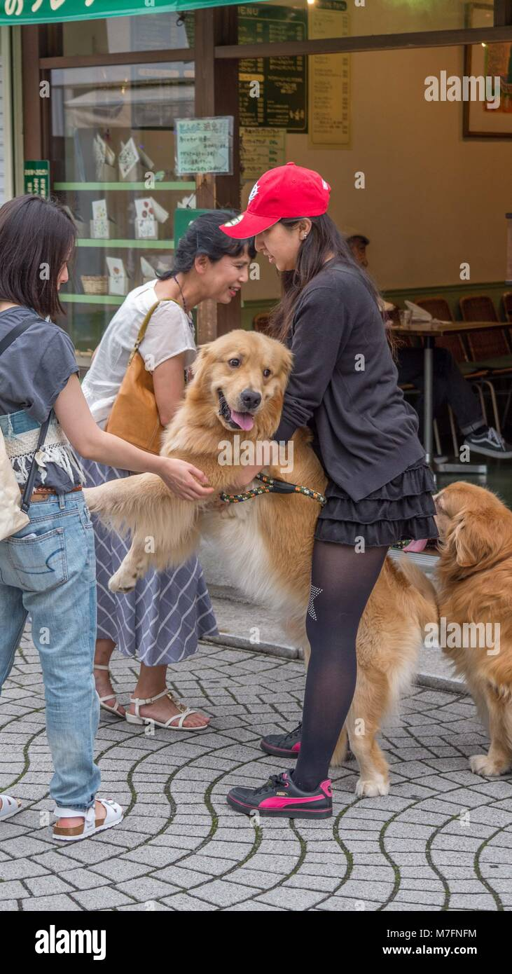 Japanese dog owner wearing black clothes red cap holding and petting beautiful Golden Retrievers in Kamakura Japan - Stock Image