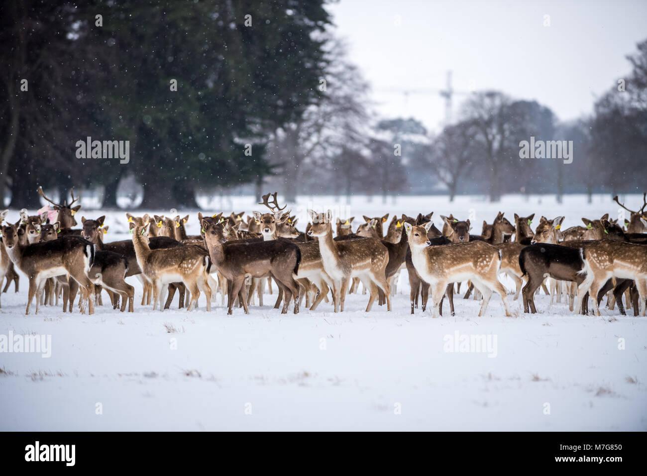 Deers at Phoenix Park in Dublin - Ireland - Stock Image