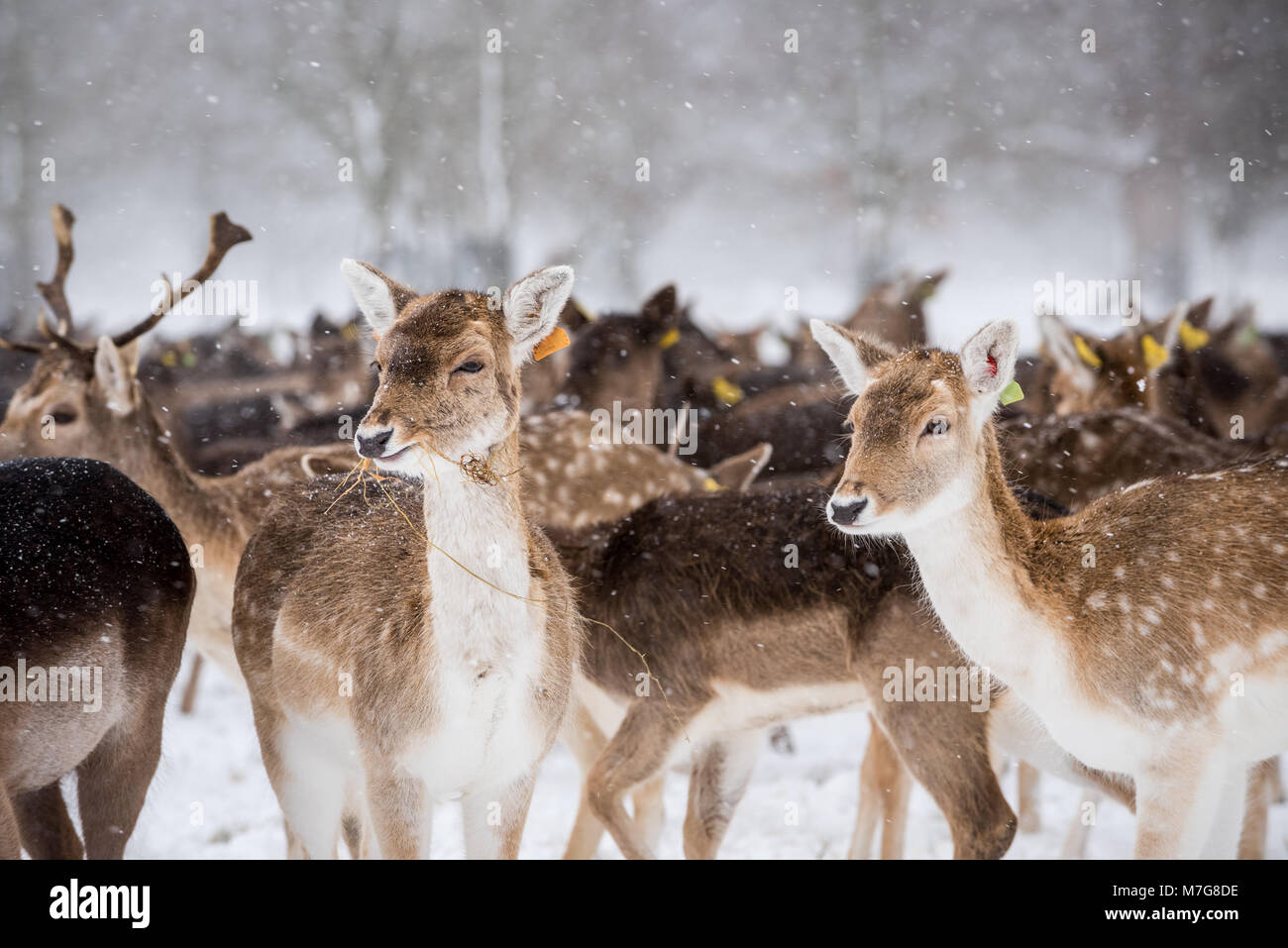Deers at Phoenix Park in Dublin - Ireland Stock Photo
