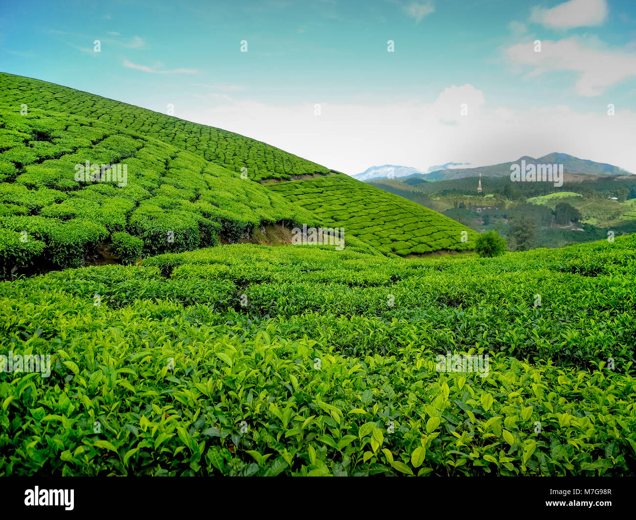 MUNNAR, KERALA, INDIA - DEC. 14, 2011: Bright and vivid landscape of Green tea plantations in Munnar in western - Stock Image