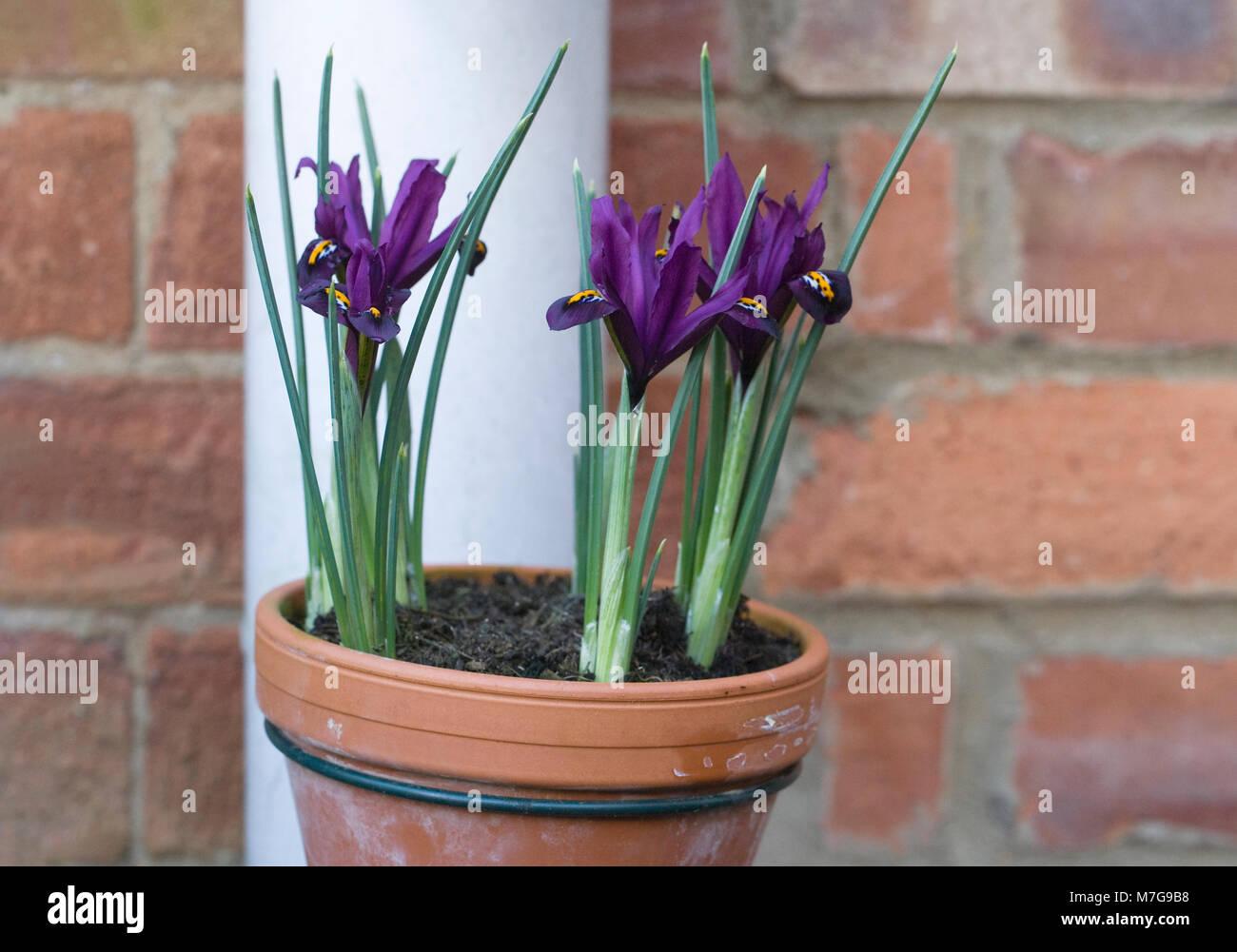 Drainpipe pot holders. Iris reticulata flowers. - Stock Image