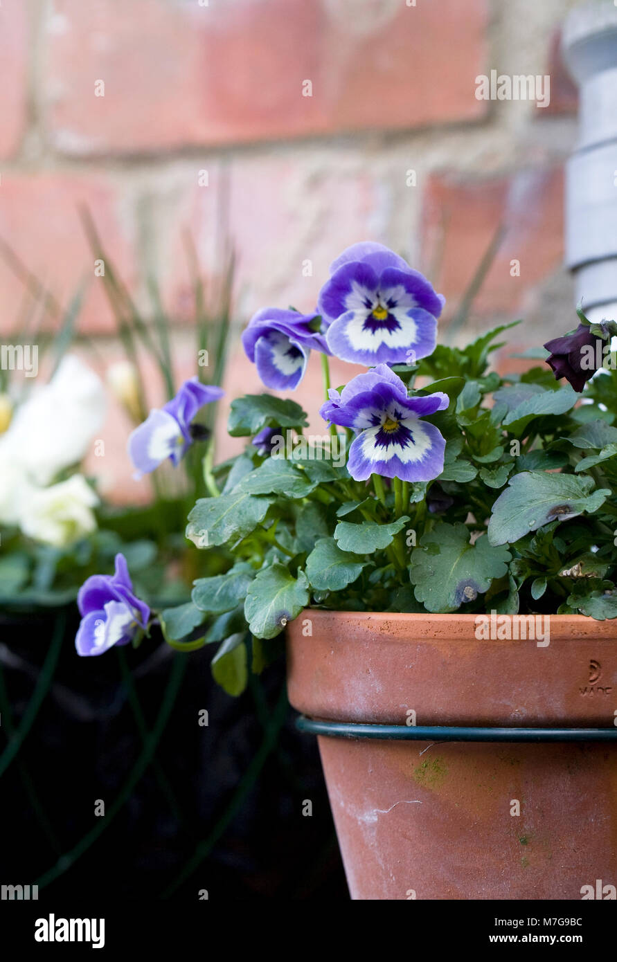 Drainpipe pot holders. Winter pansy flowers. - Stock Image