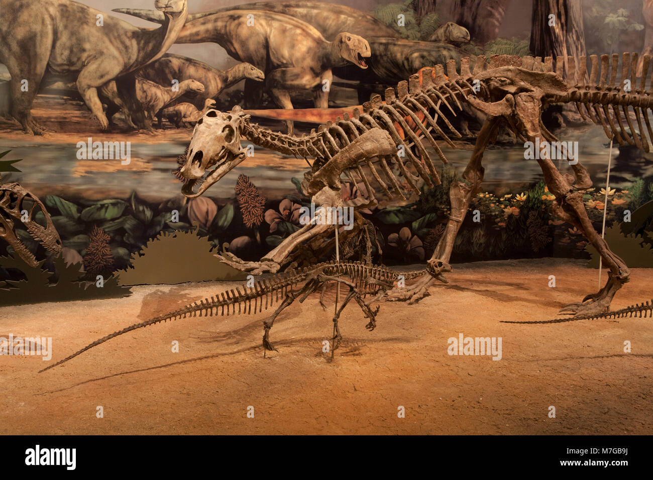 A Tenontosaurus defends against a Deinonychus in a diorama in the Hall of Ancient Life, Sam Noble Oklahoma Museum - Stock Image