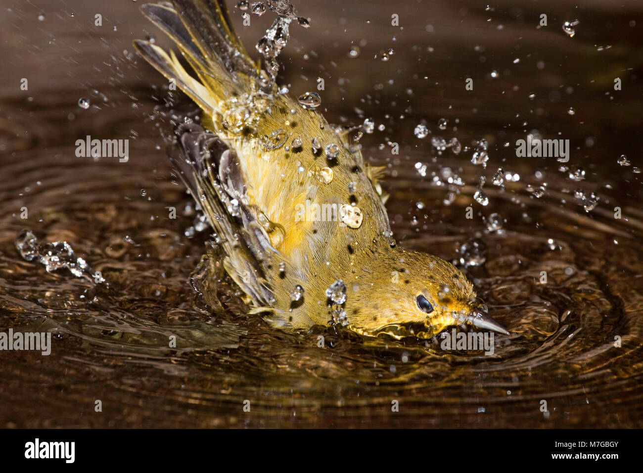 The Galapagos Mangrove Warbler or yellow warbler, Dendroica petechia aureola, is an endemic subspecies.  Water flies - Stock Image