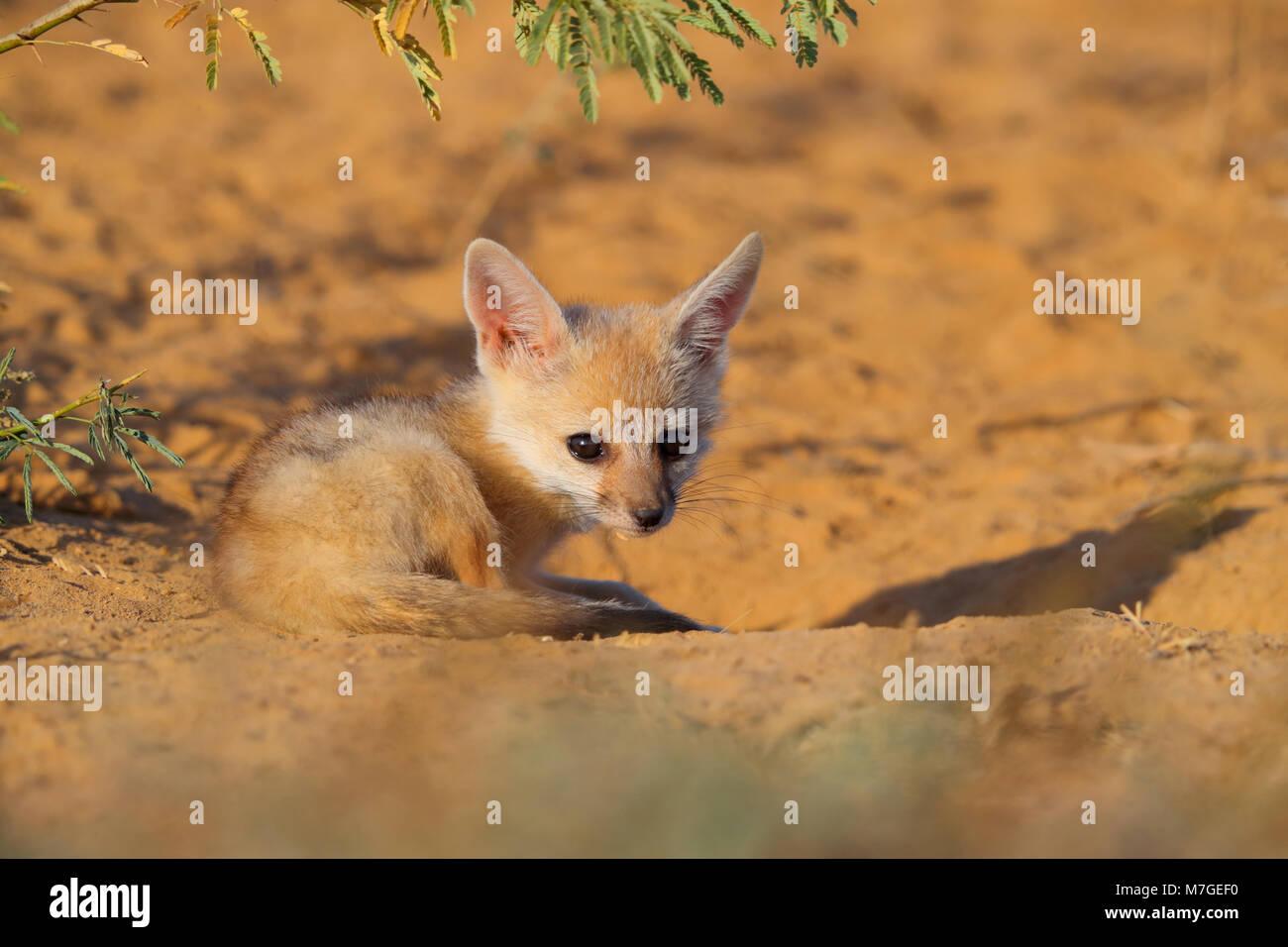 Indian or Bengal Fox cub (Vulpes bengalensis) sunbathing near the Great Rann of Kutch, Gujarat, India - Stock Image