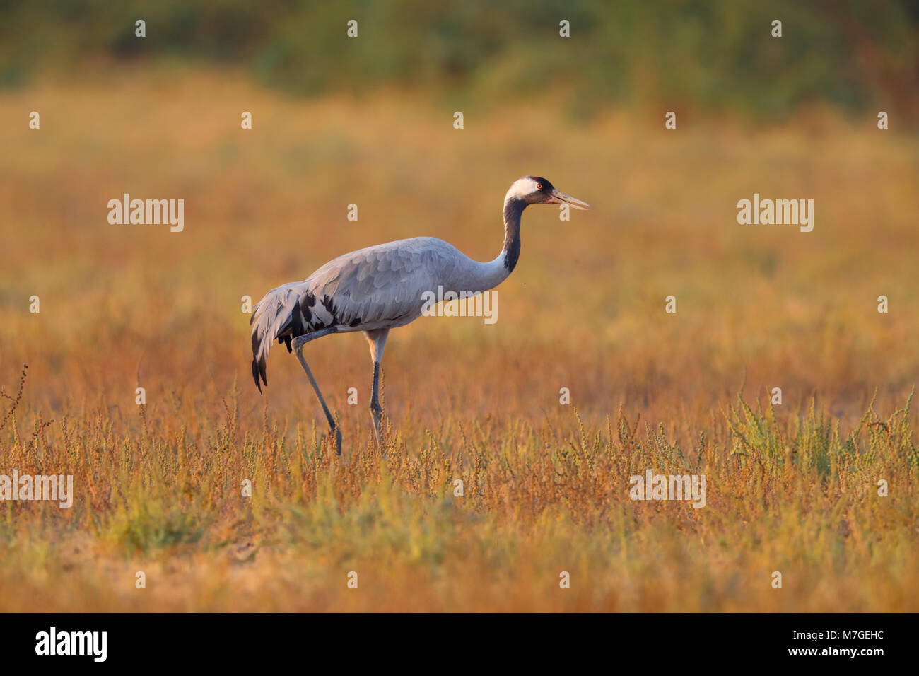 An adult Common or Eurasian Crane (Grus grus) walking across the grassland of the Little Rann of Kutch, Gujarat, India in golden evening light Stock Photo
