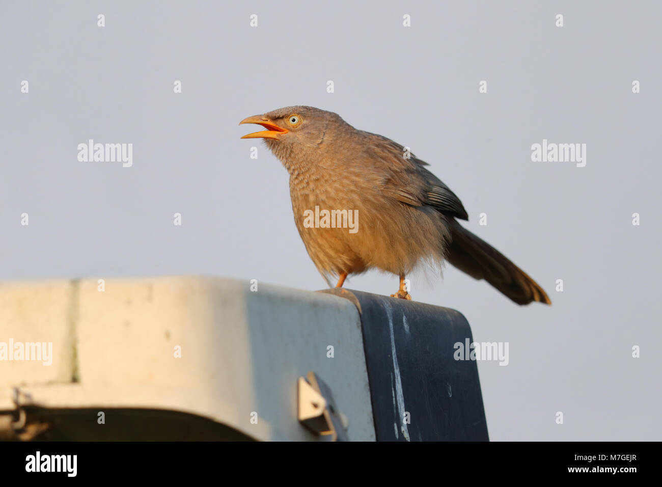 A portrait of an adult Jungle Babbler (Turdoides striata) perched in an urban park in Ahmedabad, Gujarat, India - Stock Image
