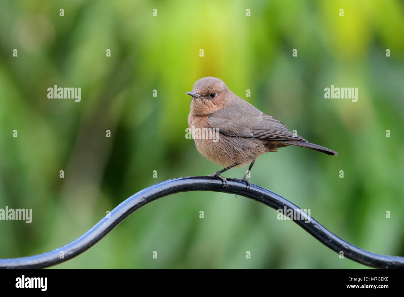An adult Brown Rock Chat (Oenanthe fusca) bird perched in a garden in Nawalgarh, Rajasthan, India - Stock Image