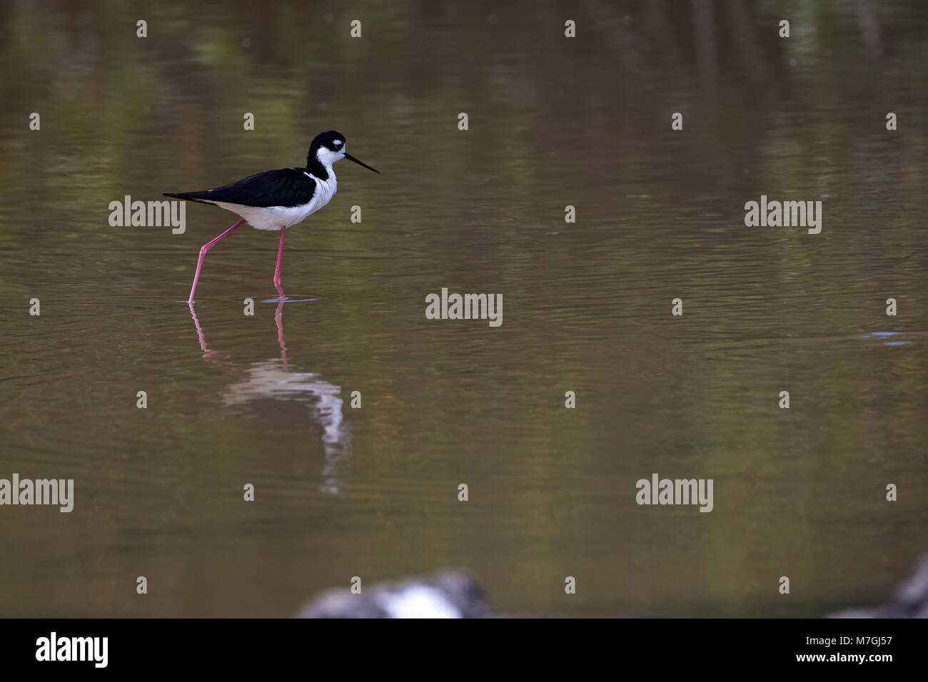 The long legs of the Black Necked Stilt, Himantopus himantopus, are well adapted for wading in shallow water and - Stock Image