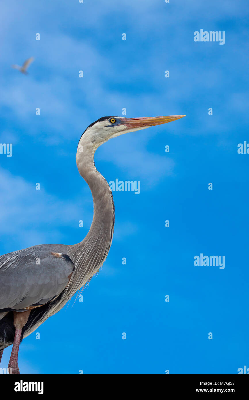 The Great Blue Heron, Ardea Herodias, is a large, majestic bird that is relatively common in the United States and - Stock Image