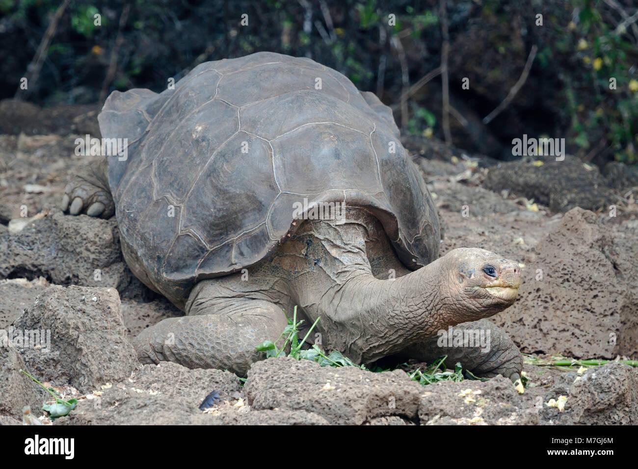 Lonesome George was the last Pinta Island Giant Tortoise, Chelonoidis nigra abingdonii.  He died on Sunday June - Stock Image