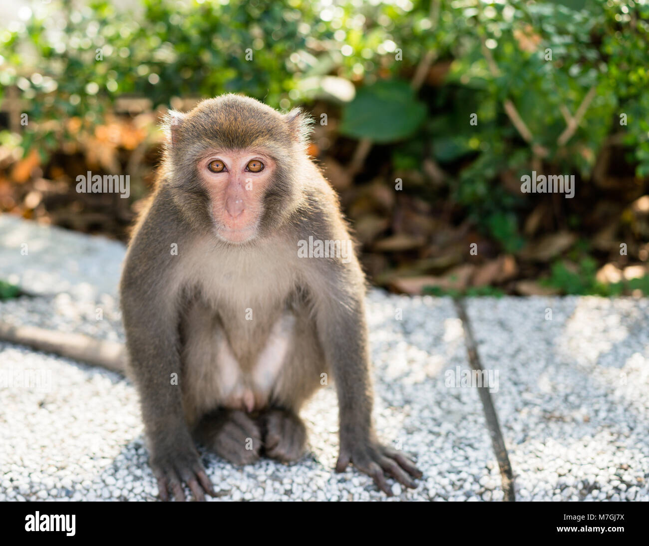Wild Taiwanese Formosan rock macaque monkey looking at the camera - Stock Image