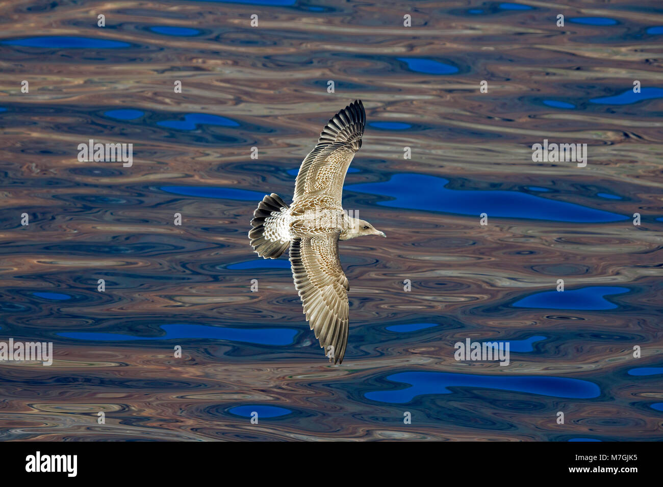 The western gull,Larus occidentalis, is a large white-headed gull that lives on the west coast of North America. - Stock Image