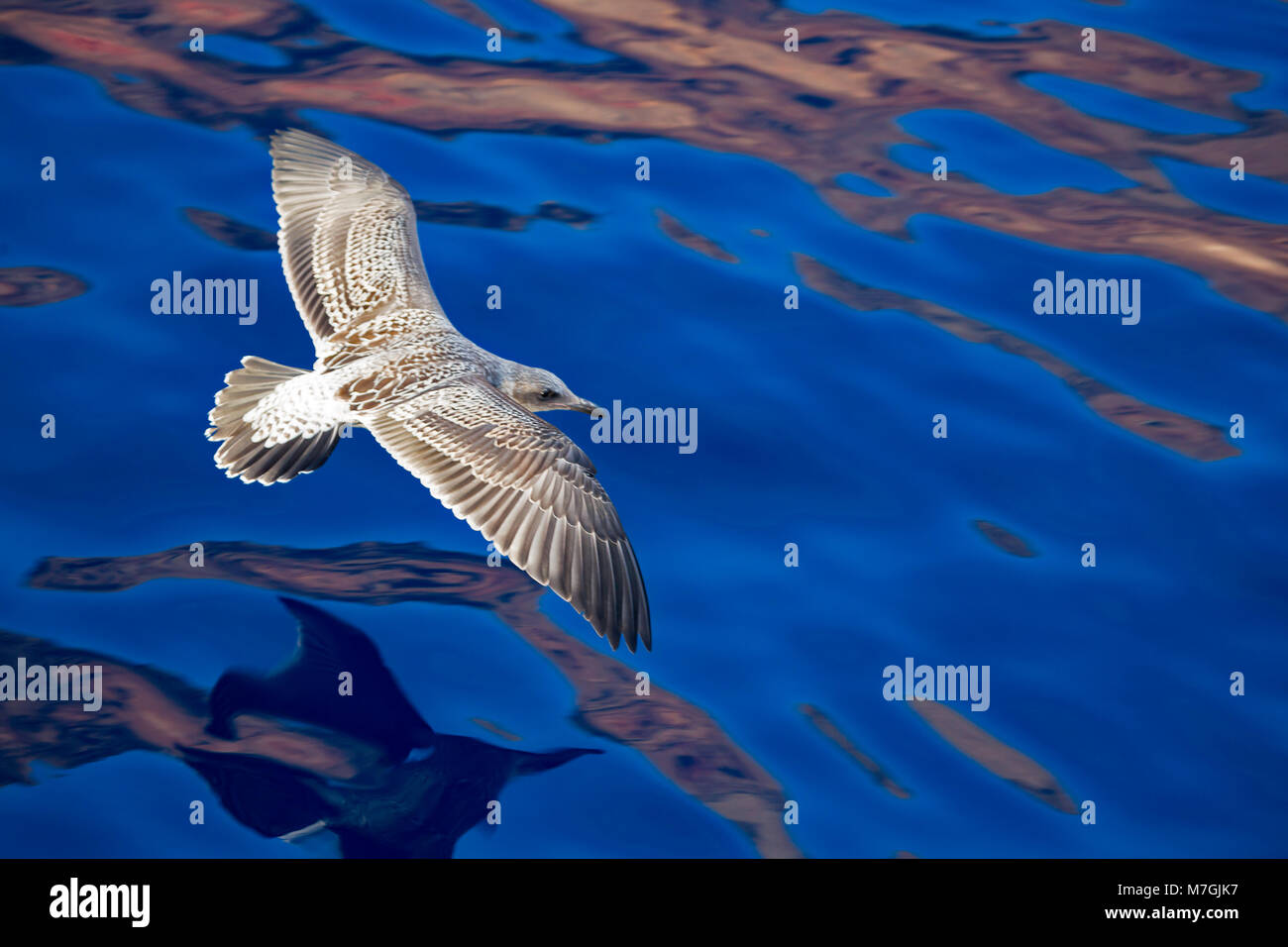 The western gull, Larus occidentalis, is a large white-headed gull that lives on the west coast of North America. - Stock Image