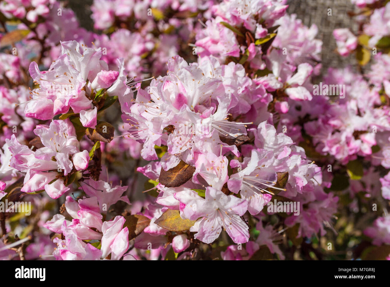 A close-up of the blossoms of a Rhododendron obtusum 'Kermesina Rose'. - Stock Image