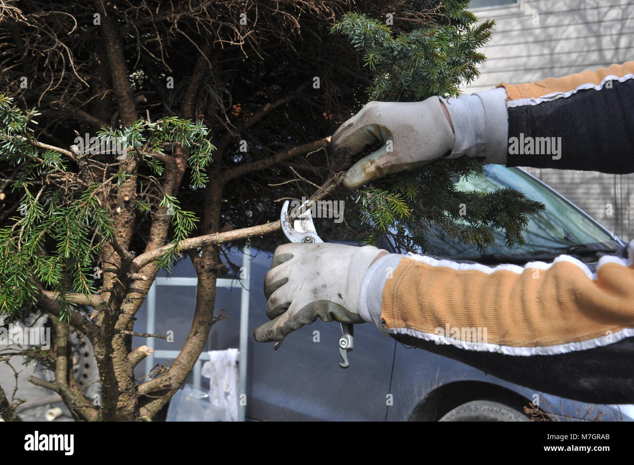 Man trimming and cutting dead branches from a tree during spring garden work. Spring garden and yard work - repairing - Stock Image