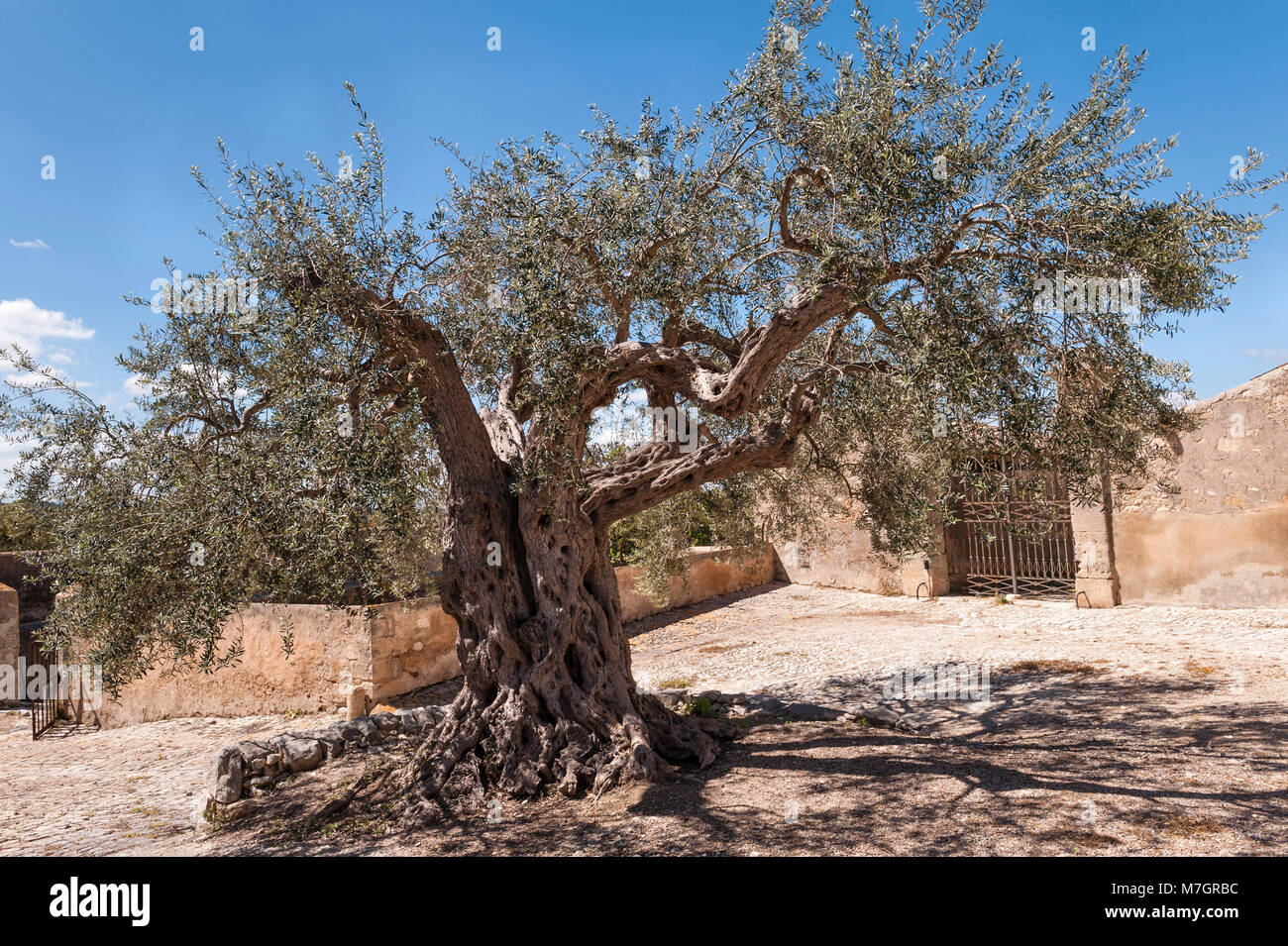 Chiaramonte Gulfi, Sicily, Italy. An ancient olive tree in the courtyard at Villa Fegotto (used as a location for - Stock Image