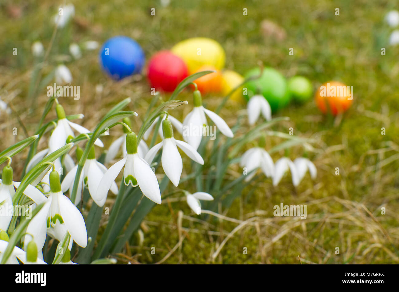 A large group of snowdrops are standing on a meadow. In background are lying easter eggs. Stock Photo
