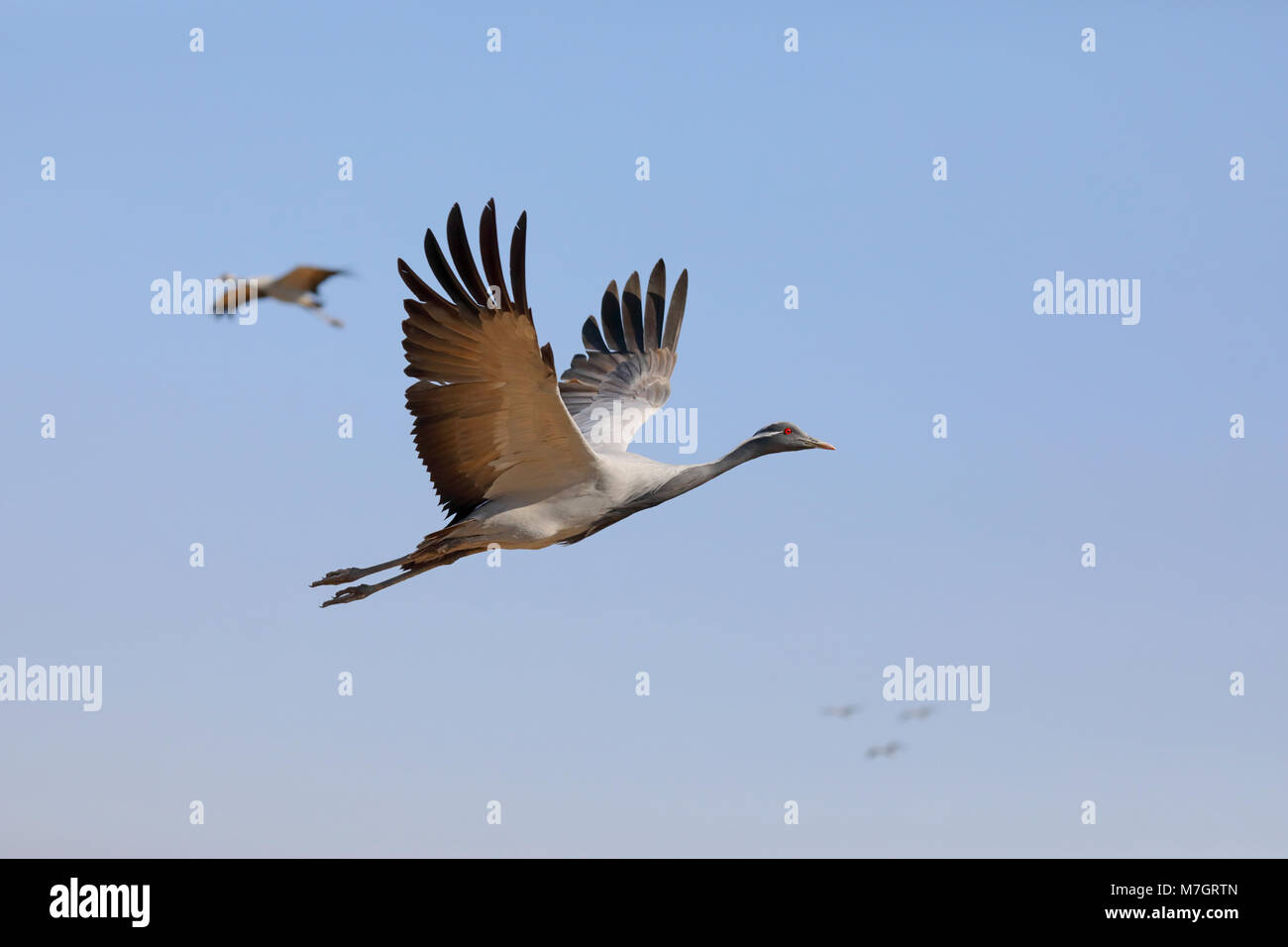 Adult Demoiselle Crane (Grus virgo) in flight at the traditional site of Khichan in Rajasthan, India Stock Photo