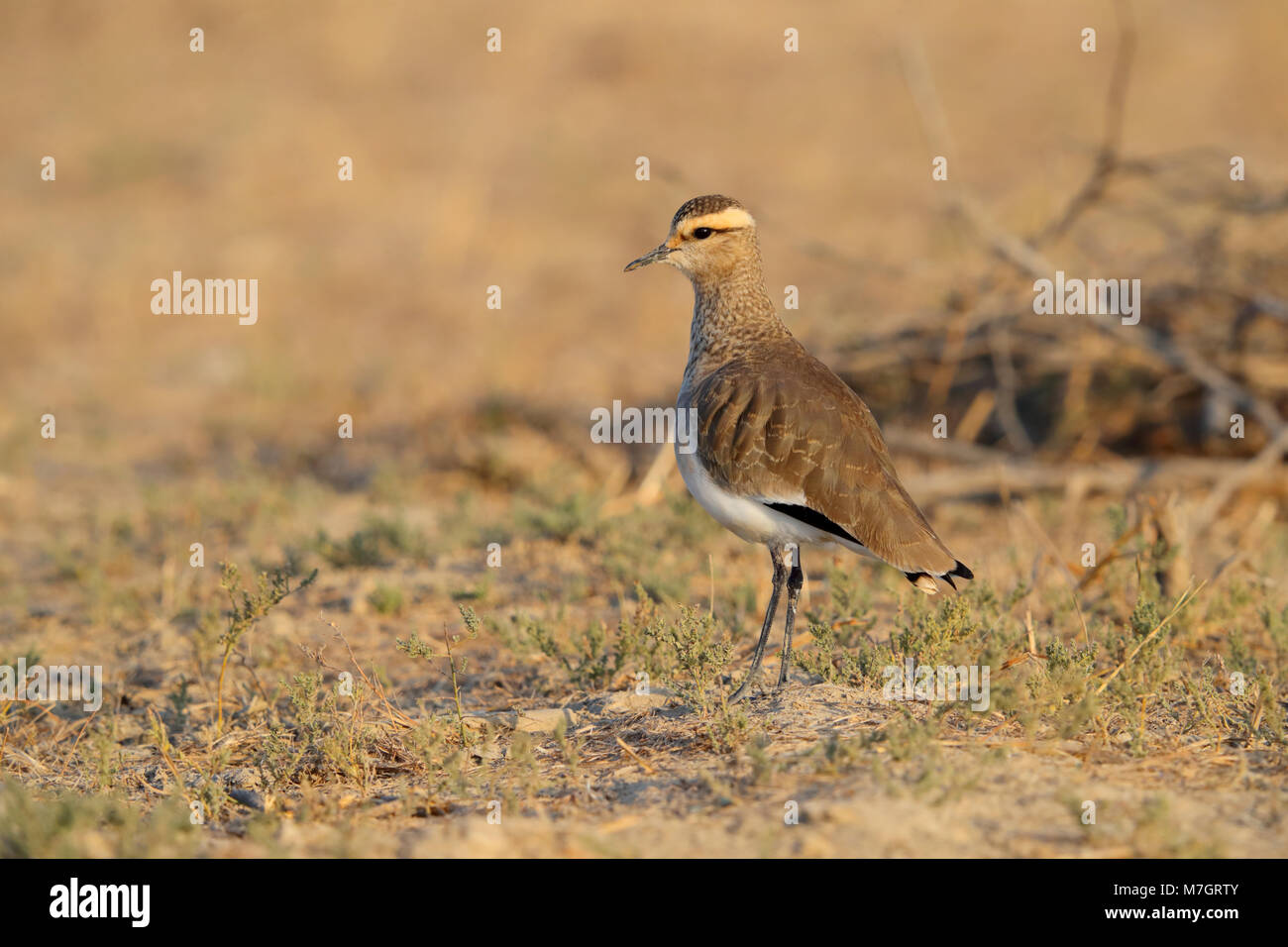 An adult non-breeding plumage Sociable Lapwing or Sociable Plover (Vanellus gregarius) in the Kutch area of Gujarat, - Stock Image