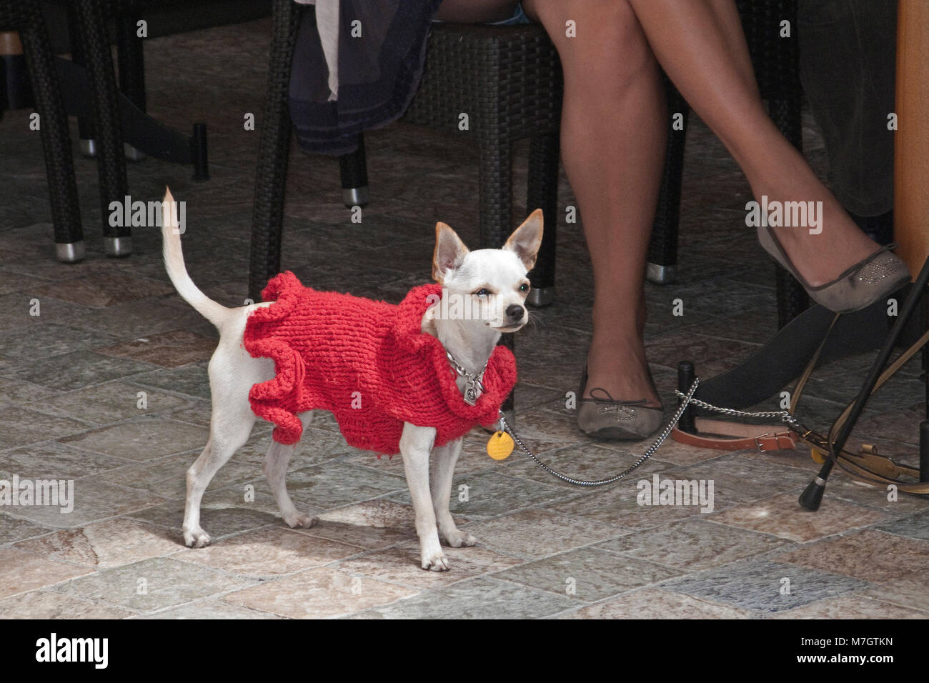 Chihuahua waers a pullover, old town Le Suquet, Cannes, french riviera, South France, France, Europe - Stock Image