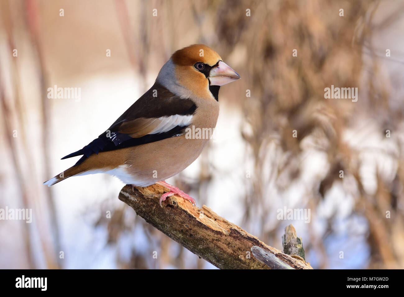Large beak hawfinch (Coccothraustes coccothraustes) sits on a broken branch among dry grass. Stock Photo